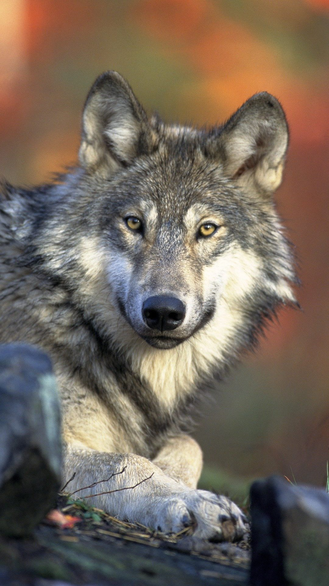 Faut il protéger les loups ?